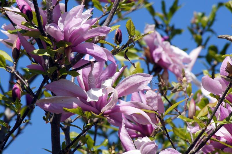 在盛开的木兰树 图库摄影