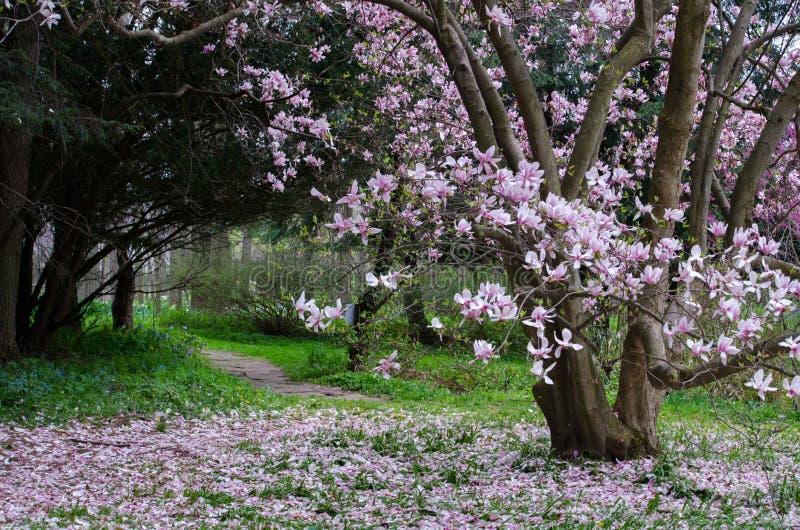 在盛开的木兰树 免版税库存照片