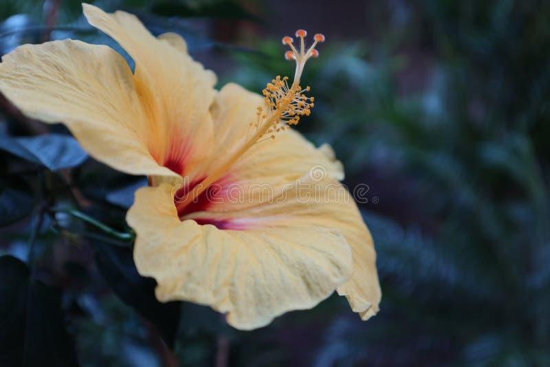 在盛开的木槿花 图库摄影