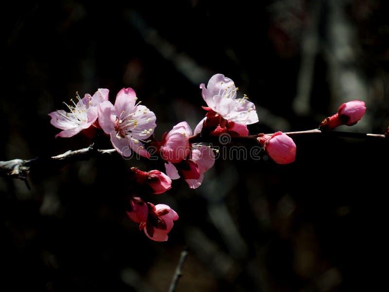 在盛开的杏子开花在春天 库存图片