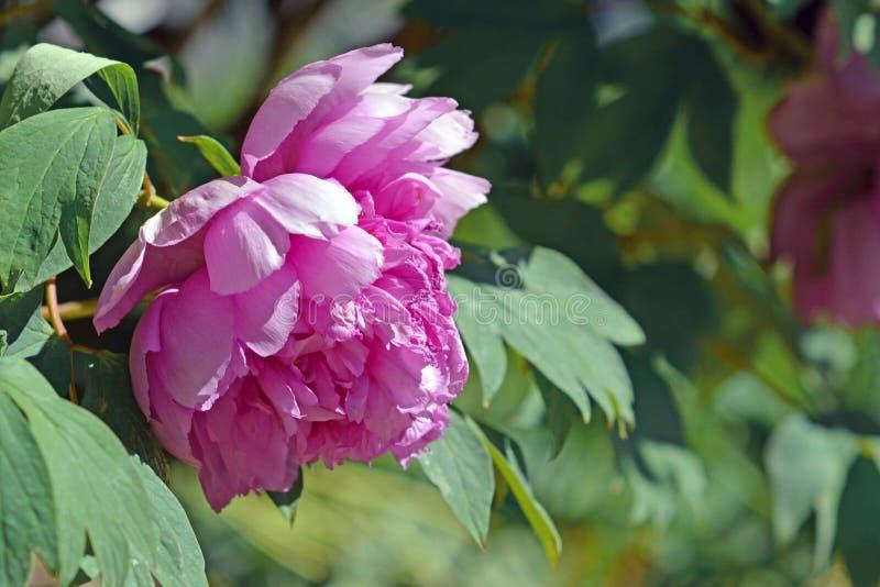在盛开的桃红色中国牡丹花在早期的春天 库存照片