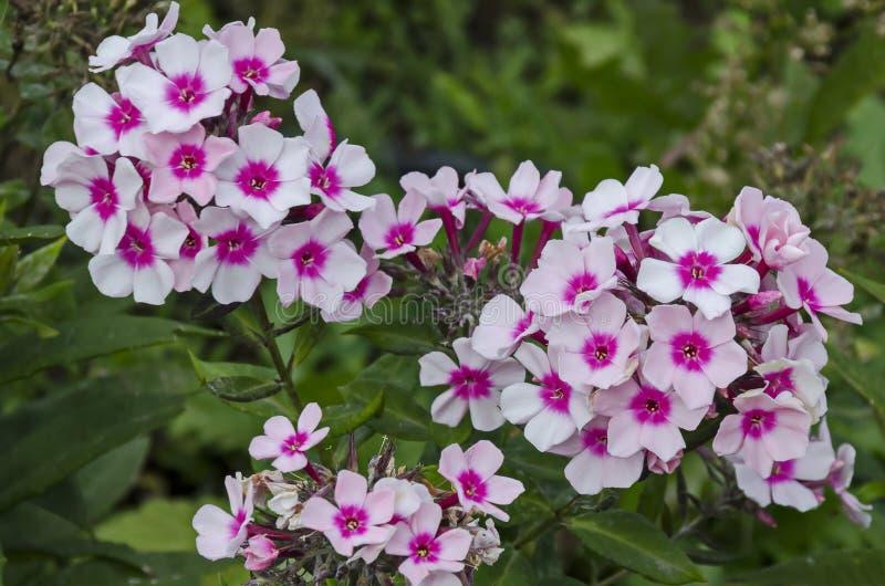 在盛开的桃红色福禄考paniculata花在四季不断的庭院 库存图片