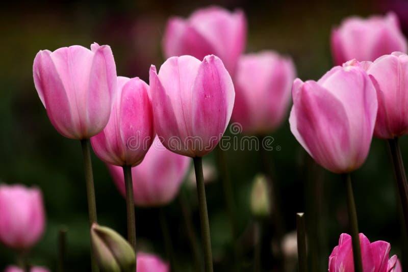 在盛开的桃红色郁金香花 库存照片