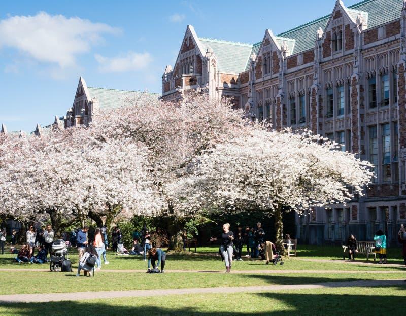 在盛开的樱桃树在西雅图华盛顿大学校园 库存图片
