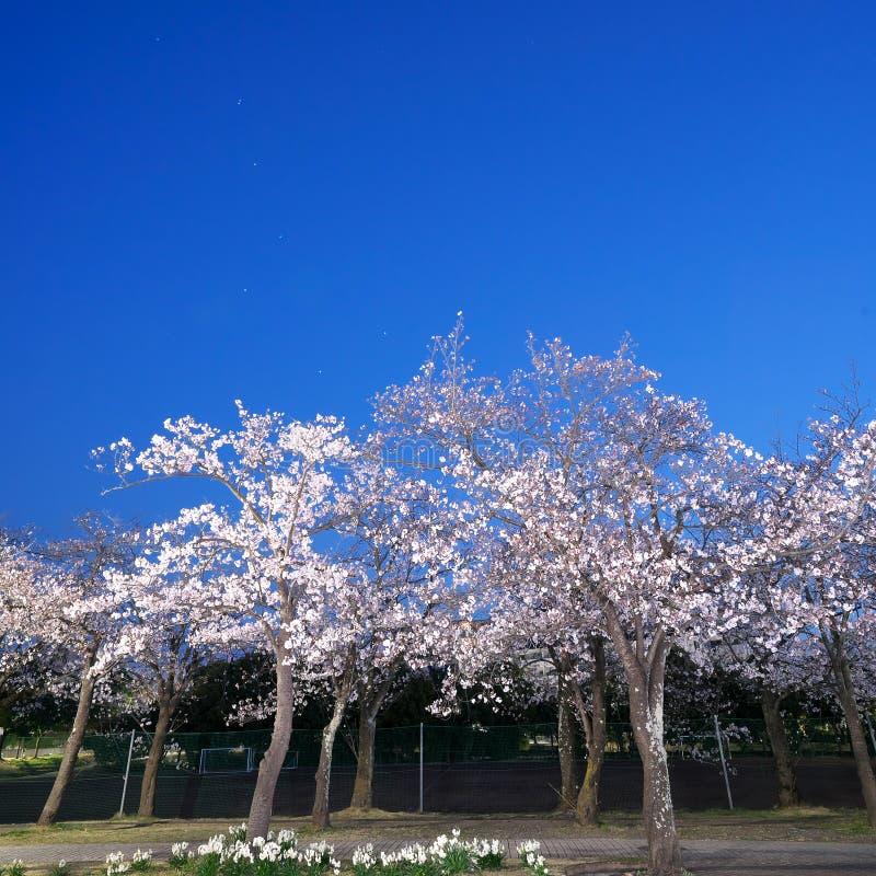 在盛开的樱花有特廖内或七星背景在清早东京 库存照片
