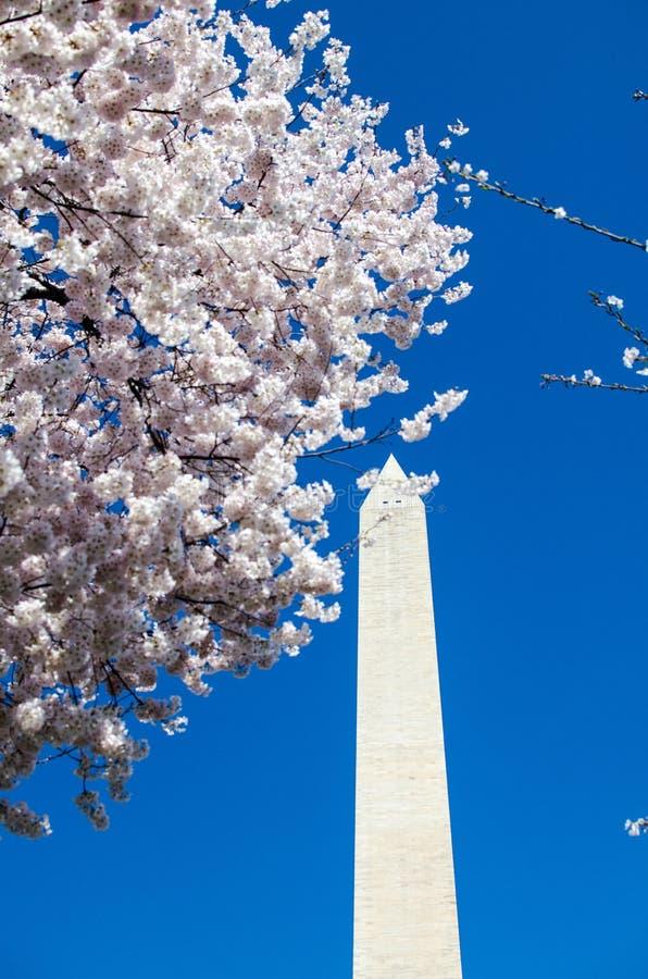 在盛开的樱花树与华盛顿纪念碑 免版税库存照片