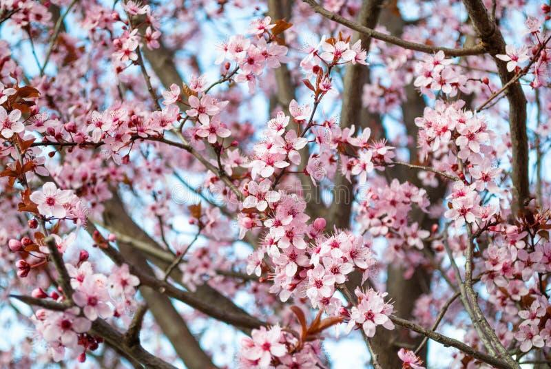 在盛开的樱花 樱桃在樱桃树的小群开花 库存照片
