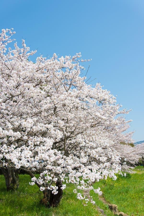 在盛开的樱花 图库摄影