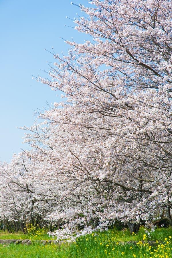 在盛开的樱花 免版税图库摄影