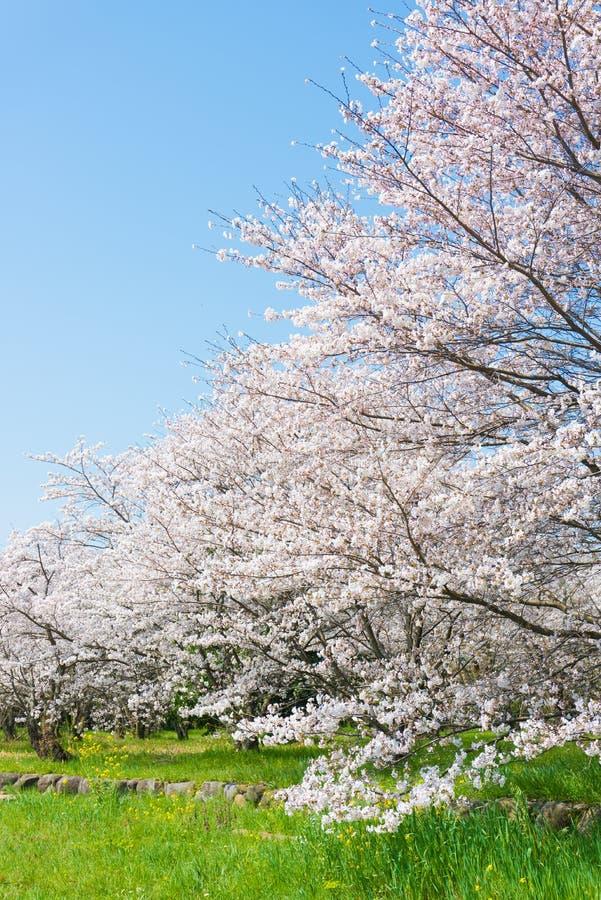 在盛开的樱花 库存照片