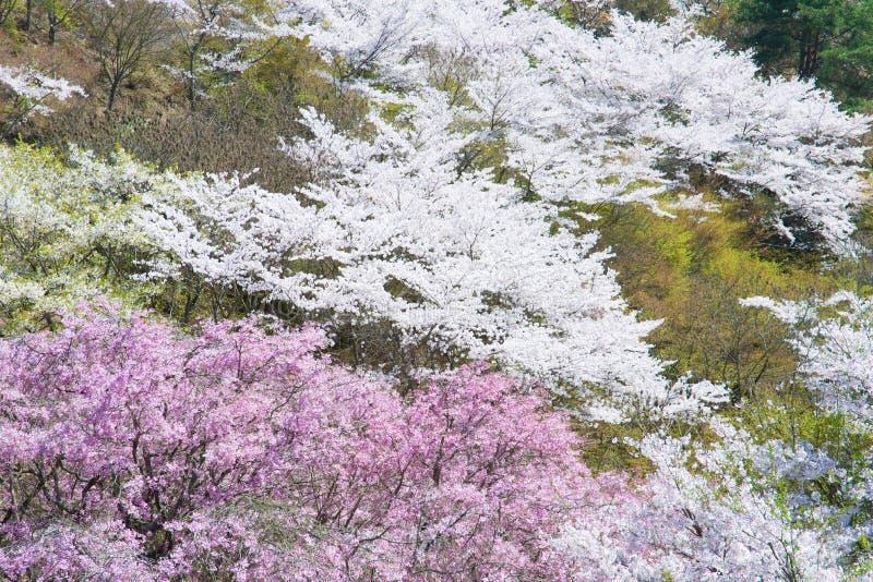 在盛开的樱花 免版税库存照片