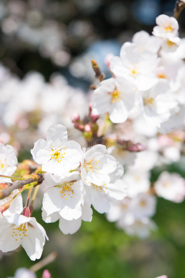 在盛开的樱花 库存图片