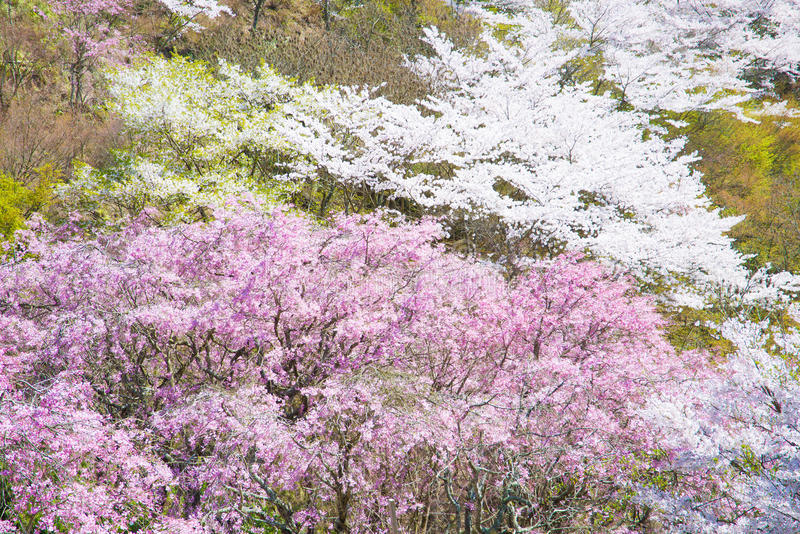 在盛开的樱花 免版税库存图片