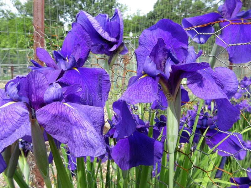 在盛开的紫色虹膜花在6月 免版税库存图片