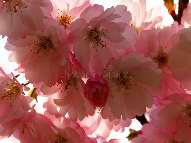 在盛开的美丽的佐仓樱花 库存照片