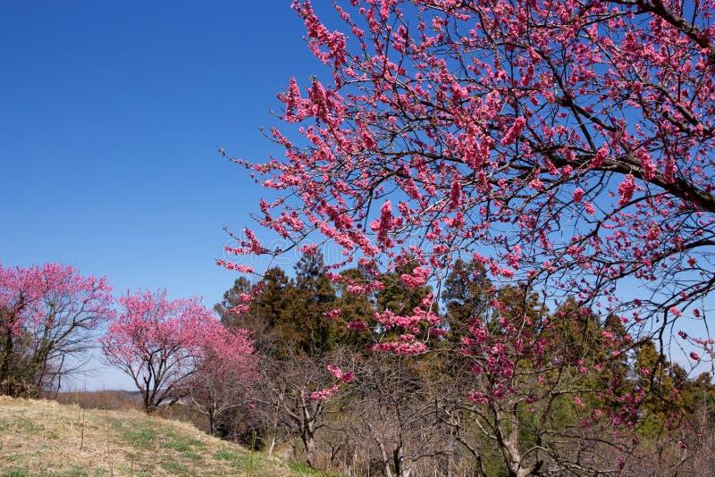 在盛开的美丽的开花的桃树 库存照片