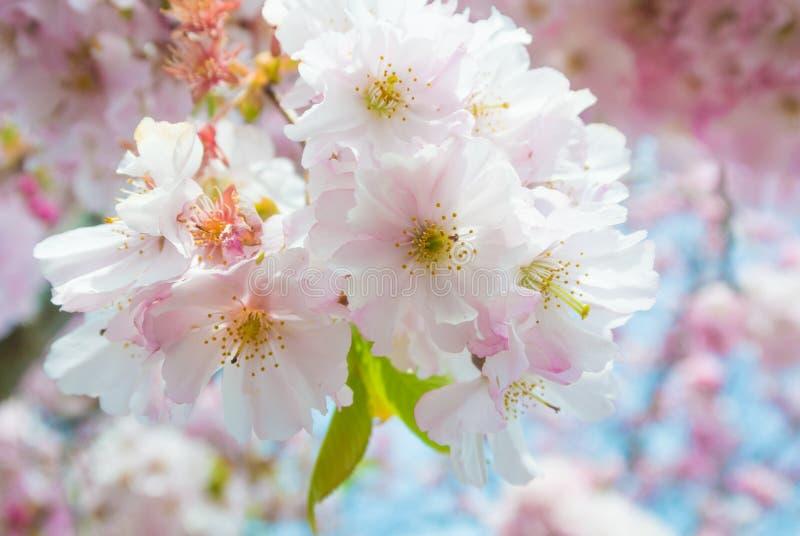 在盛开的美丽的桃红色樱花(佐仓)花 免版税库存照片
