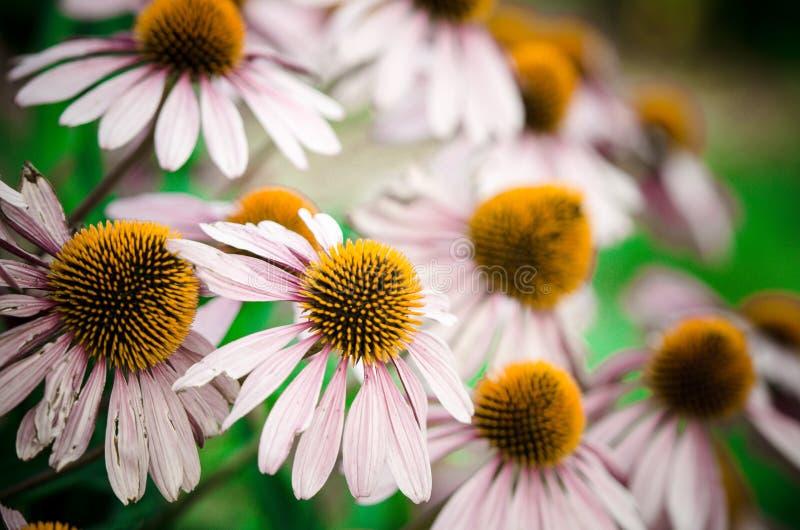 在盛开的美丽的桃红色coneflowers在夏天 免版税图库摄影