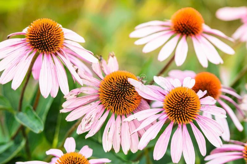 在盛开的美丽的桃红色coneflowers在夏天 图库摄影