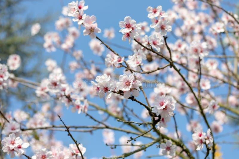 在盛开的美丽的白色和桃红色日本樱花树在阳光下与天空蔚蓝 免版税库存图片
