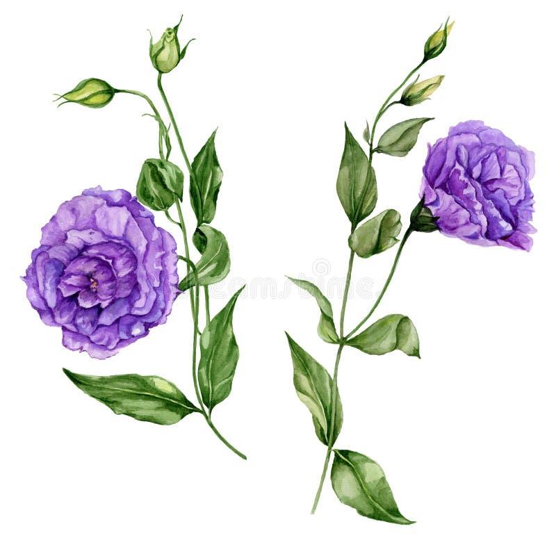 在盛开的美丽的紫色南北美洲香草花lisianthus在与叶子和闭合的芽的一个绿色词根 植物的集合 向量例证