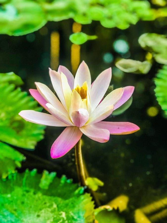 在盛开的莲花 库存照片