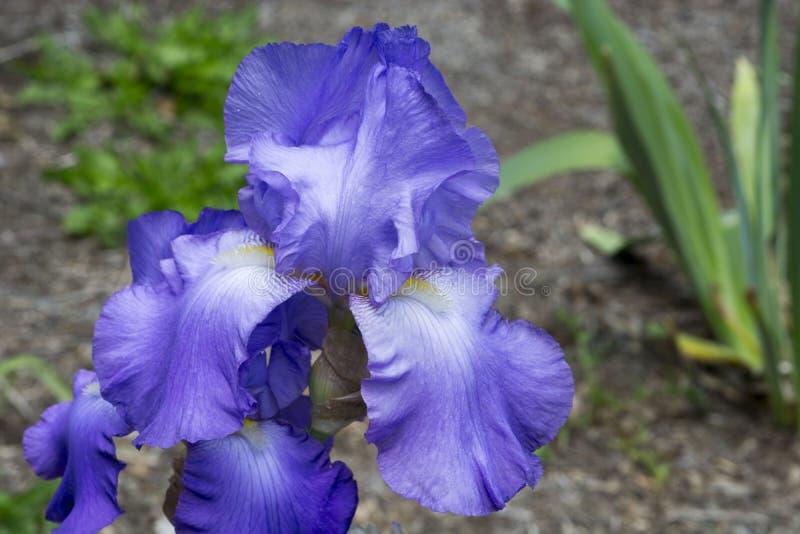 在盛开的蓝色虹膜 免版税图库摄影