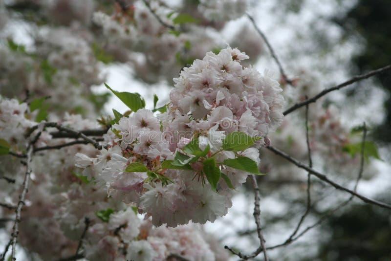 在盛开的装饰樱桃树 免版税库存图片