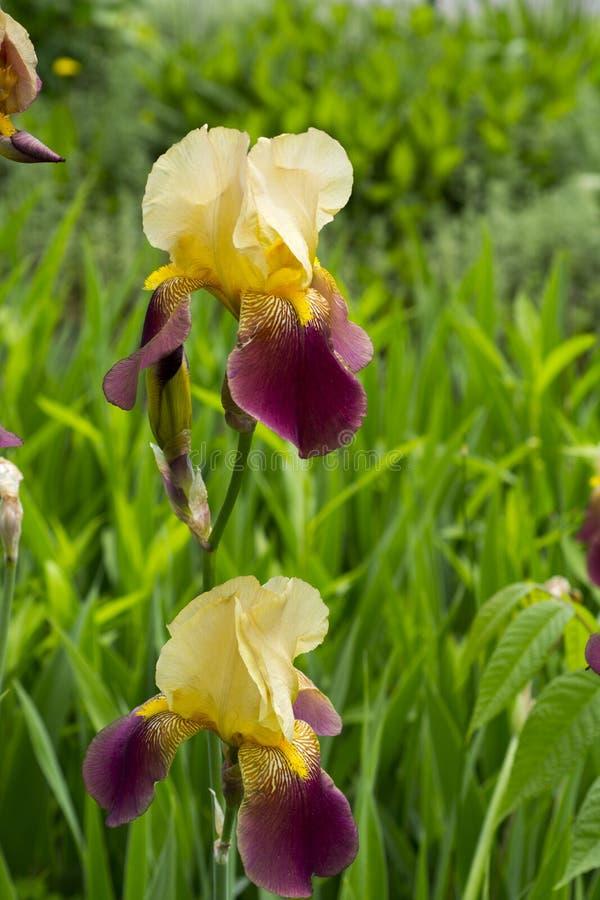 在盛开的黄色和紫色虹膜 免版税库存图片