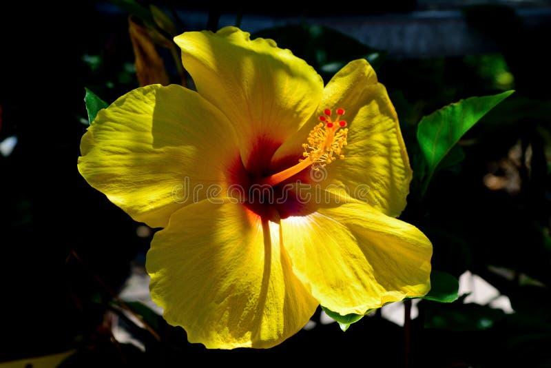 在盛开的黄色木槿 库存照片