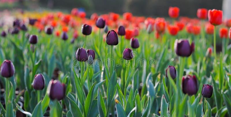 在盛开的黑郁金香在春天 免版税库存照片