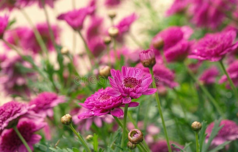 在盛开的Canarian雏菊在水黎明和滴  免版税库存图片