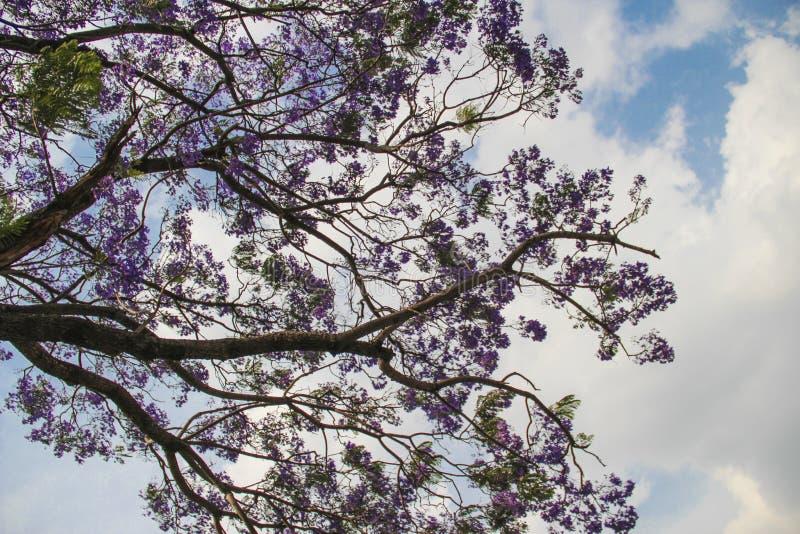 在盛开,印度的兰花楹属植物 免版税库存照片