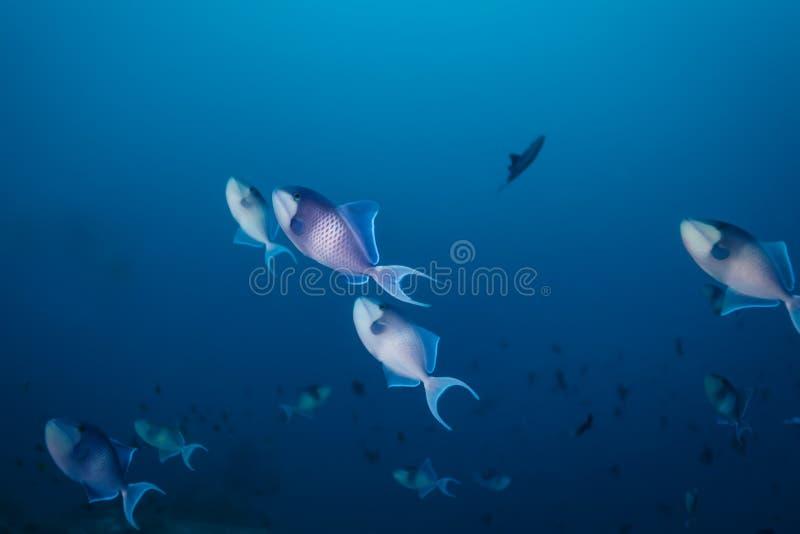在相当蓝色洋流的蓝色和白色引金鱼游泳 免版税库存照片