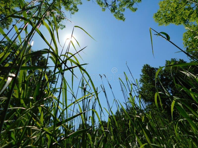 在看天空的一个象草的草甸 免版税库存图片