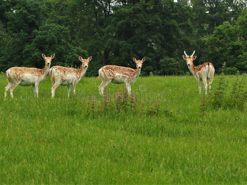在看往照相机的一个绿色领域的四头小鹿 免版税库存图片