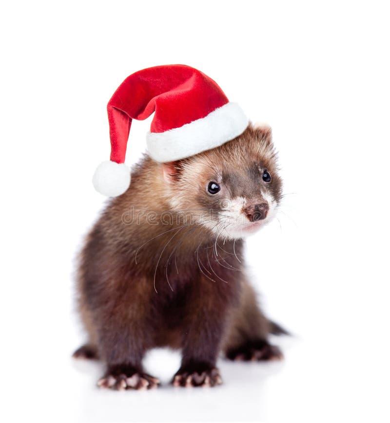 在看照相机的红色圣诞节帽子的白鼬 查出在白色 免版税库存图片
