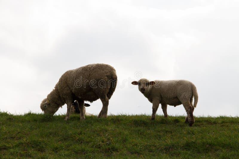 在看直接地在rhede emsland德国的照相机的一只白色羊羔的看法 免版税库存图片
