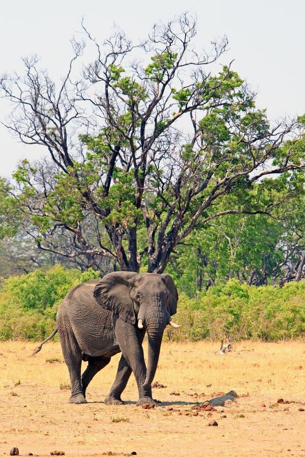 在看直接地照相机的一棵大树下的孤立非洲大象身分在万基国家公园 免版税库存图片