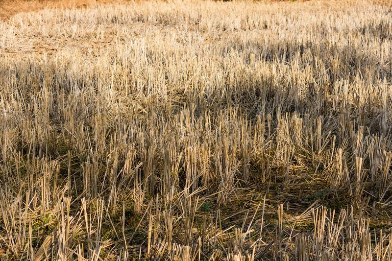 在看起来接近的看法的印地安稻秸杆令人敬畏在印地安稻农田 库存照片