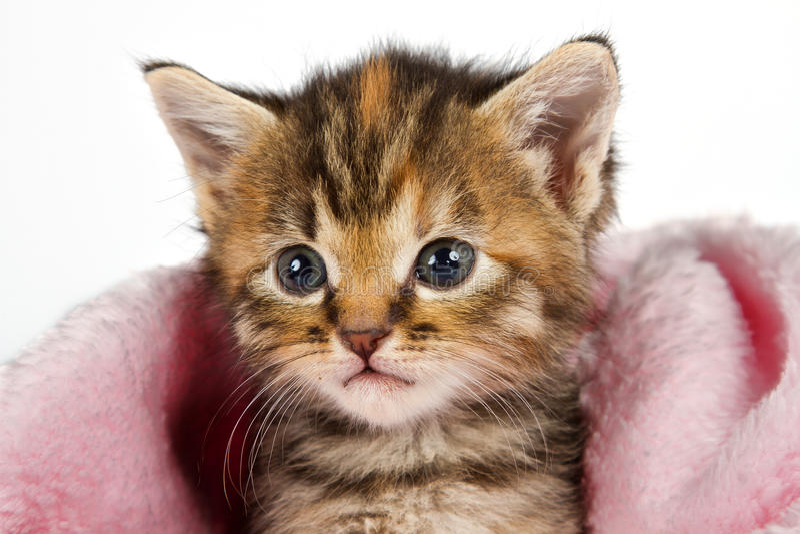 在看起来桃红色的毯子的小猫预警 库存照片