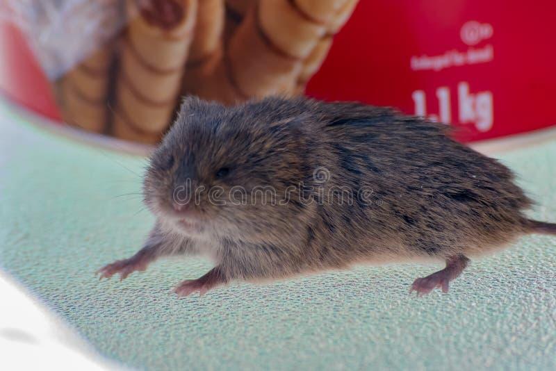 在看起来的桌上的老鼠吓唬 免版税图库摄影