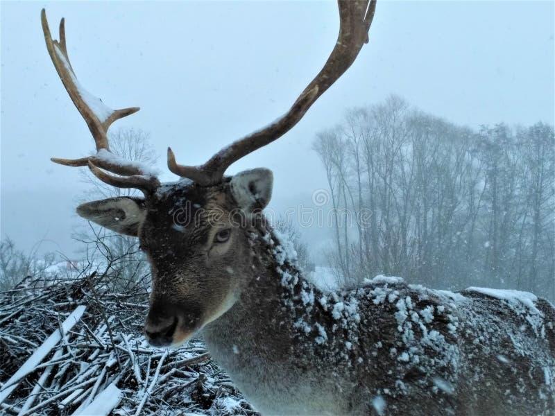 在看起来的雪的小鹿恼怒 免版税库存照片