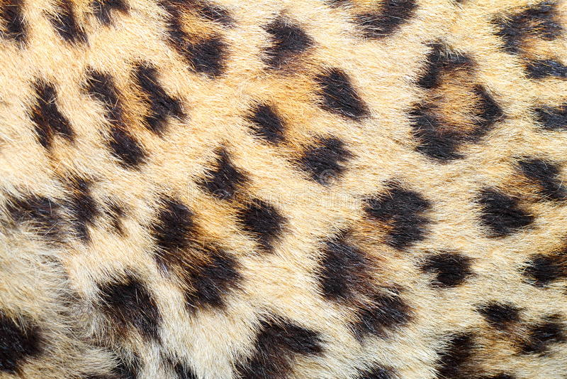 在真正的豹子毛皮的斑点 库存图片