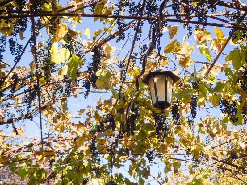 在眺望台的老灯用狂放的葡萄 自然本底 库存照片