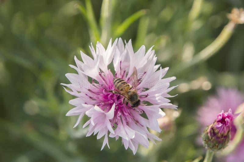 在矢车菊特写镜头的蜂蜜蜂 库存照片