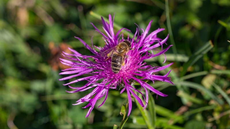 在矢车菊scabiosa的野生蜂 免版税库存图片