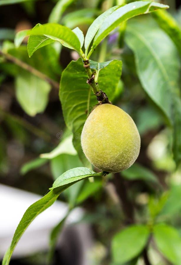 在矮小的树的年轻桃子 免版税库存照片