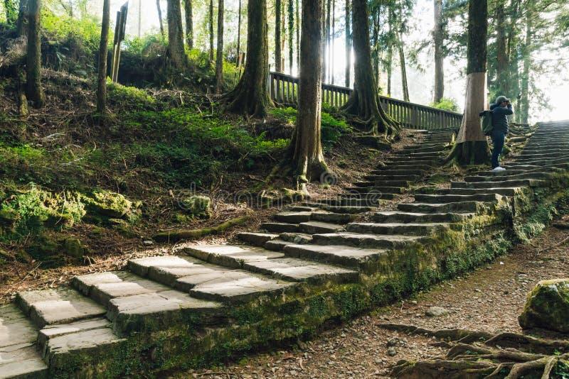 在石台阶的旅游身分和射击雪松看法与青苔的在阿里山国家森林休闲的森林里 库存照片