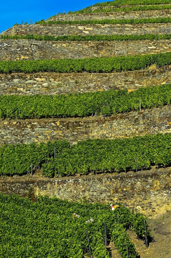 在石块墙上的露台的葡萄园 免版税库存照片